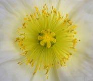 мак цветка Стоковое Фото
