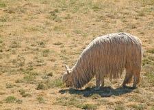 唯一羊魄的骆马 免版税库存照片