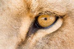 眼睛狮子 免版税库存图片