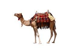 骆驼孤立 免版税图库摄影