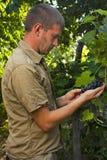 检查葡萄酒商人的葡萄收获 免版税库存照片