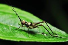 有效的蟋蟀 免版税库存图片