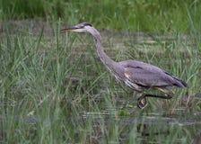 偷偷靠近的伟大蓝色的苍鹭的巢 免版税库存图片
