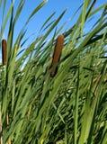 тростник Стоковая Фотография