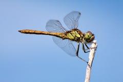 蜻蜓绿色 图库摄影
