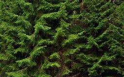 δέντρο γουνών κλάδων Στοκ Εικόνες