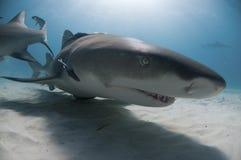 鲨鱼微笑 免版税库存照片