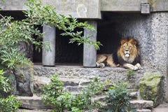 狮子位于的树荫 免版税库存图片