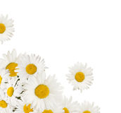 стоцветы Стоковое Изображение