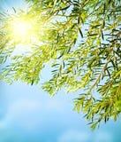 边界新鲜的橄榄树 免版税图库摄影