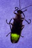臭虫萤火虫闪动的闪电 库存图片