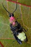 臭虫萤火虫叶子闪电 库存图片