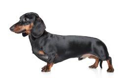 背景达克斯猎犬白色 免版税库存图片