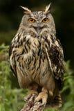 Европейский сыч орла - гористые местности Шотландии Стоковые Изображения