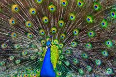 蓝色孔雀 免版税图库摄影