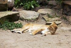 困的狮子 免版税库存照片