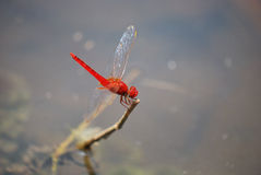 Κόκκινη λιβελλούλη Στοκ φωτογραφίες με δικαίωμα ελεύθερης χρήσης