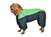 狗穿戴的绿色雨衣 免版税库存照片