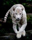 бродя белизна тигра Стоковые Изображения RF
