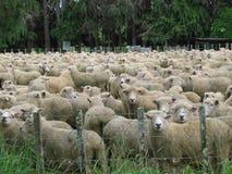овцы поля Стоковые Изображения