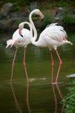 фламинго Стоковая Фотография
