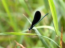蜻蜓蜘蛛 图库摄影