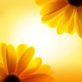 向日葵宏观射击在黄色背景的 免版税图库摄影
