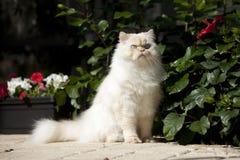 喜马拉雅的猫 免版税库存图片