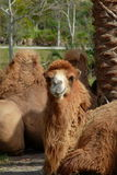疲倦的骆驼 库存照片