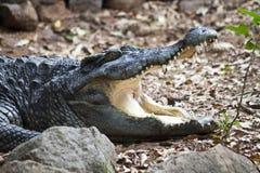 暹罗语的鳄鱼 免版税库存图片