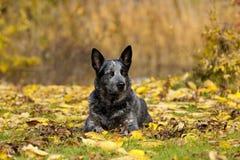 австралийский портрет мужчины собаки скотин Стоковое Изображение RF
