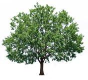 橡树 免版税库存照片
