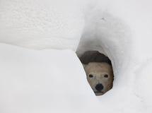 极性熊的小室 免版税库存图片