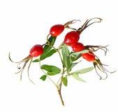 роза красного цвета плодоовощ одичалая Стоковое фото RF