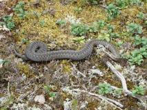 通配森林的蛇蝎 免版税库存照片
