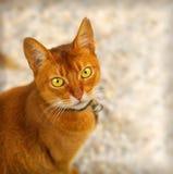 猫红色 图库摄影
