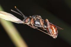 野生蜂坐秸杆 免版税库存图片