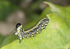 在叶子的飞蛾幼虫 免版税图库摄影