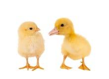 小鸡鸭子复活节 图库摄影