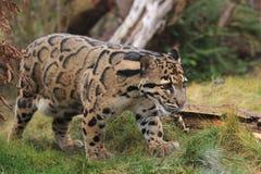 заволокли леопард Стоковые Фото