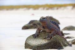加拉帕戈斯鬣鳞蜥海军陆战队员 免版税库存照片