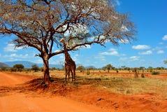 长颈鹿徒步旅行队 库存照片