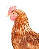 棕色母鸡 库存图片