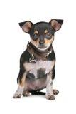 黑色奇瓦瓦狗棕褐色 免版税库存照片