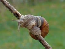 伯根地酒蜗牛 库存照片