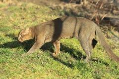 美洲山猫 库存图片