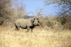 черный носорог Стоковое Фото