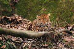 Лежа леопард северного фарфора Стоковое фото RF
