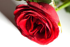 Красный цвет поднял с тенью Стоковая Фотография
