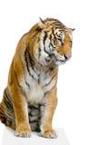 坐的老虎 免版税库存图片